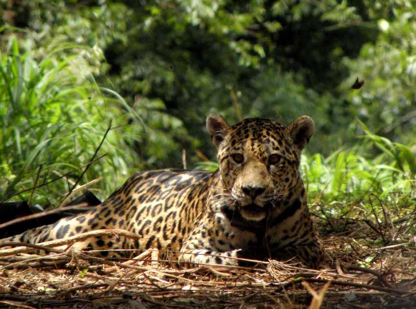 Investigadores del CONICET confirman nuevos registros de yaguareté en el Chaco y Formosa