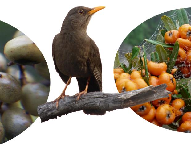 Los arbustos invasores con frutos carnosos facilitan indirectamente la dispersión del árbol dominante del Chaco Serrano