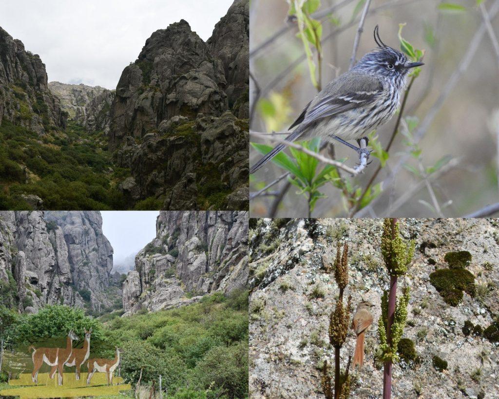 Respuestas de la avifauna luego de dos décadas de restauración de un bosque de Tabaquillos (Polylepis australis) en el centro de Argentina